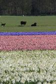 Fields with hyacints — Stock Photo