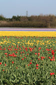 Fields with tulips — Stock Photo