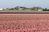 Fields with pink hyacints — Stock Photo