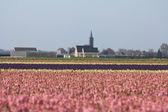 Różowy hyacints w polu — Zdjęcie stockowe