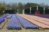Dutch Floral industry, hyacints — Stock Photo