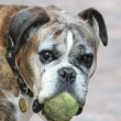 Senior boxer with a tennisbal - Stockfoto