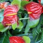 Anthurium arrangement — Stock Photo