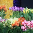 Tulips in all colors — Stock fotografie