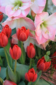 Red tulips and pink amarylis — Stock Photo