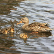 Stock Photo: Mother duck and ducklings