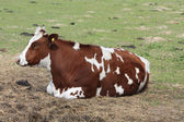 Brown and white cow in the meadow — Stock Photo