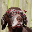 German shorthaired pointer with pink pair of glasses — Lizenzfreies Foto