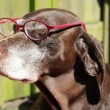 German shorthaired pointer with pink pair of glasses - Photo
