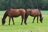 Brown horses in a meadow — Stock Photo