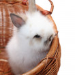 Small bunny in a basket — Stock Photo