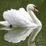 Swan — Stock Photo #2740667