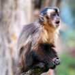 Macaque monkey scream — Stock Photo