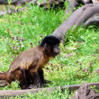 Tufted capuchin monkey — Stock Photo
