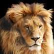 Lion head — Stock Photo #3155703