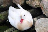 Beautiful mandarin white duck — Stock Photo