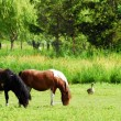 Royalty-Free Stock Photo: Horses on pasture