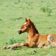 Royalty-Free Stock Photo: Horse foal on pasture