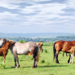 Royalty-Free Stock Photo: Horses and foals on pasture