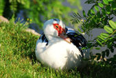 Muscovy duck — Stock Photo