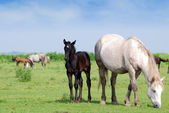 White horse and black foal on pasture — Stock Photo