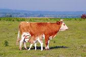 Alimentación con leche de vaca becerro — Foto de Stock