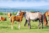 White horse mare with foal — Stock Photo
