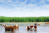 Cows on watering place — Stock Photo