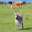 Cute little gray donkey foal — Stock Photo
