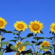 Sunflowers — Stock Photo #3531137