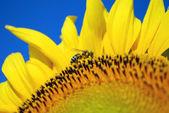 Honeybee covered with sunflower pollen — Stock Photo