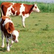 Calf and cow on pasture — Stock Photo #3687284
