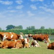 Stock Photo: White and brown cows on pasture
