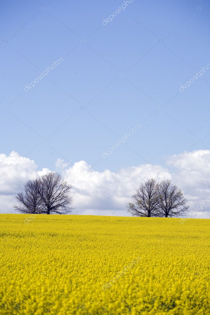 A Canola crop in full bloom provides a sea of vibrant yellow — Stock Photo #2723781