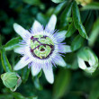 Passionfruit Flower — Stock Photo