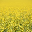 Canola Crop — Stock Photo #3428689
