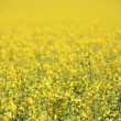 Royalty-Free Stock Photo: Canola Crop