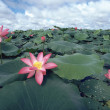 Water Lilies — Stock Photo #3428726