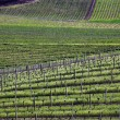 vineyard — Stock Photo #3575719