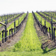 vineyard — Stock Photo #3575730