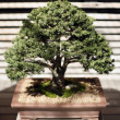 Bonsai Tree — Photo