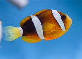 Amphiprion ocellaris — Stock Photo