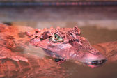 крокодил — Стоковое фото