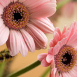 Barbeton Daisy Gerbera Flower — Stock Photo #3367344