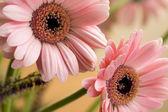 Barbeton Daisy Gerbera Flower — Stock Photo