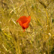 Golden wheat and poppy flower — Stock Photo