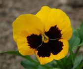 Yellow flower - pansy — Stock Photo