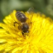 Stock Photo: Hardworking bee collects pollen