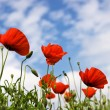 Poppy — Stock Photo #3644535