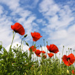 Poppy — Stock Photo #3820307